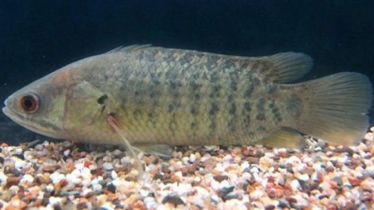 Ngủ mơ thấy cá rô báo hiệu điềm lành hay dữ?