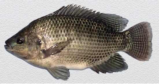 Mơ thấy các loại cá rô khác nhau