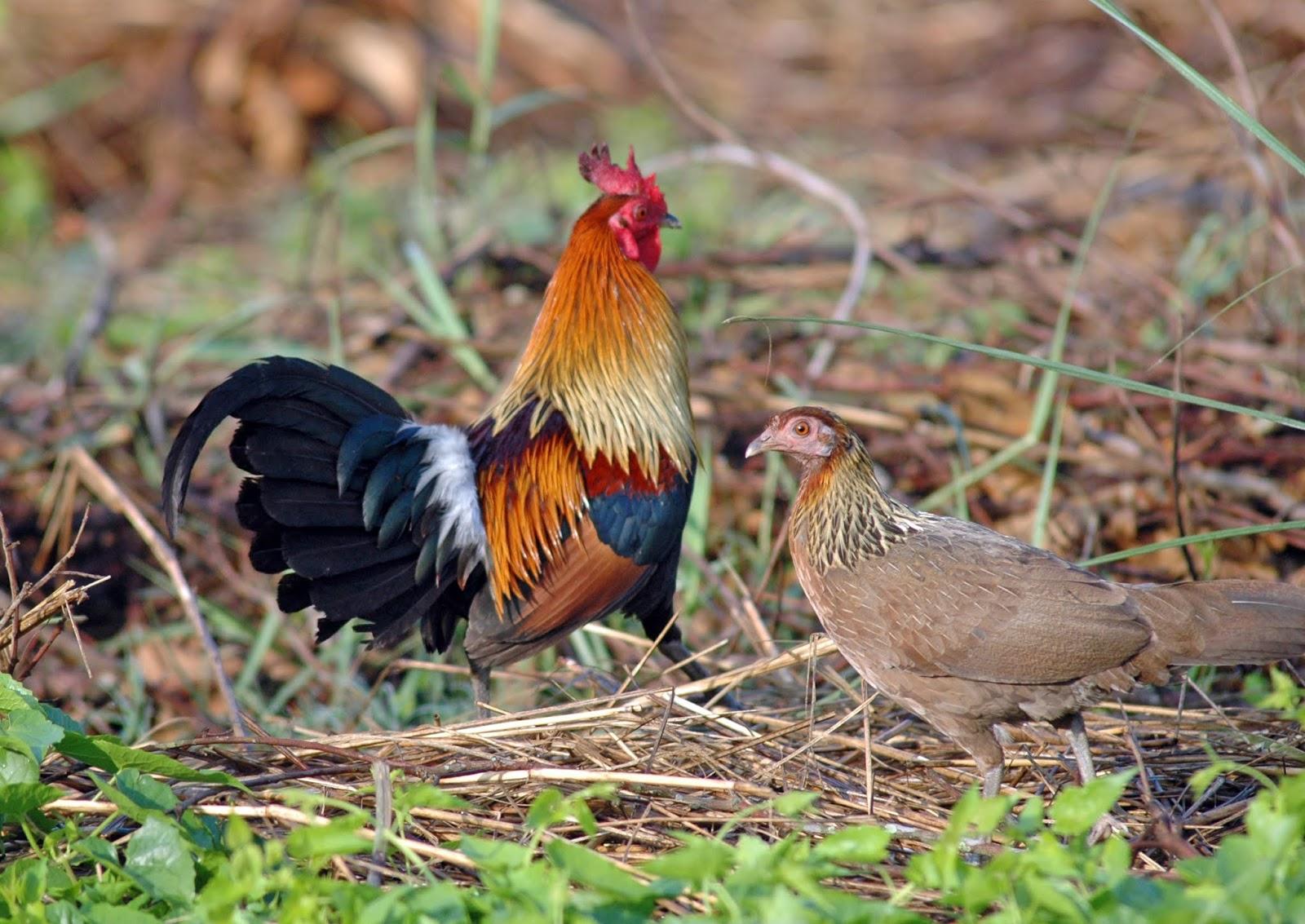 Mơ thấy các loại gà rừng khác nhau