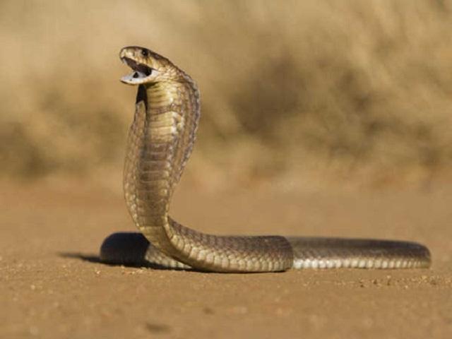 Ngủ mơ thấy rắn hổ mang báo hiệu điềm lành hay dữ